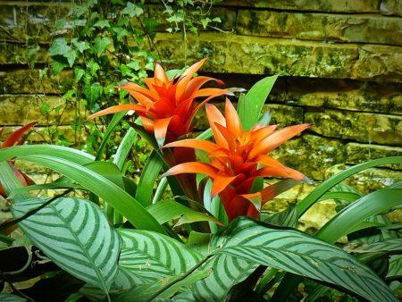 凤梨科植物